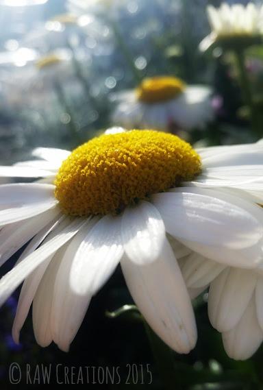1 Daisy